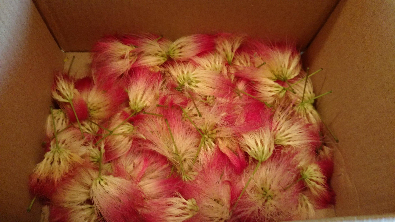 Mimosa | Blue Missouri Skies Homestead